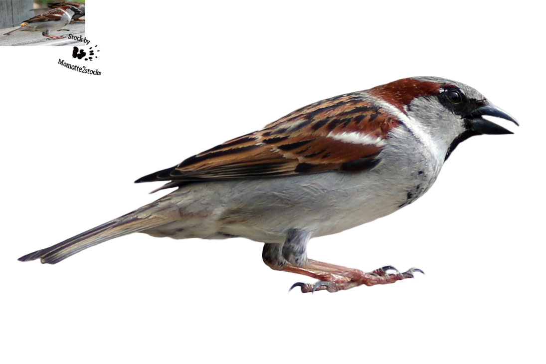 Sparrow PNG - 2972