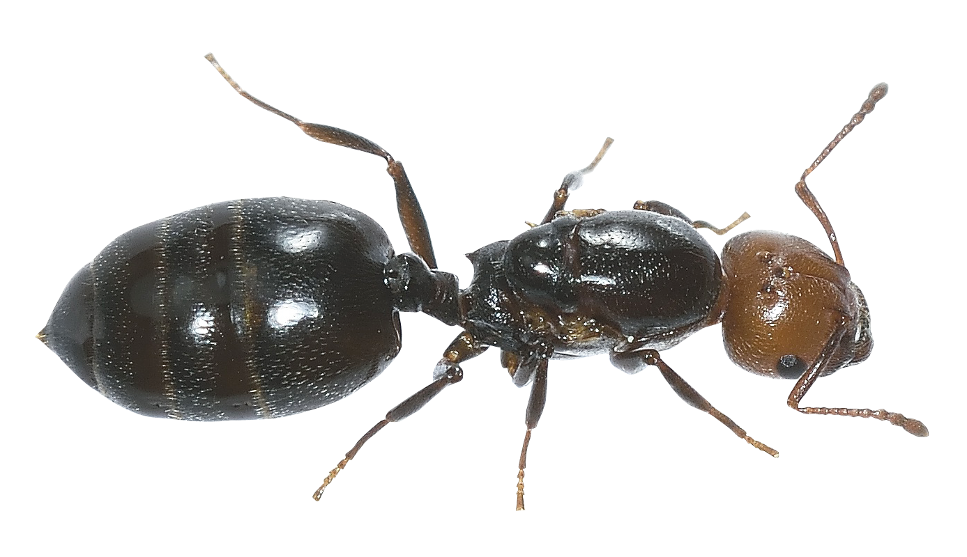 PlusPNG - Ant PNG