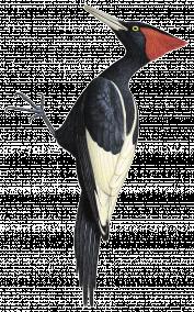 Woodpecker PNG - 990