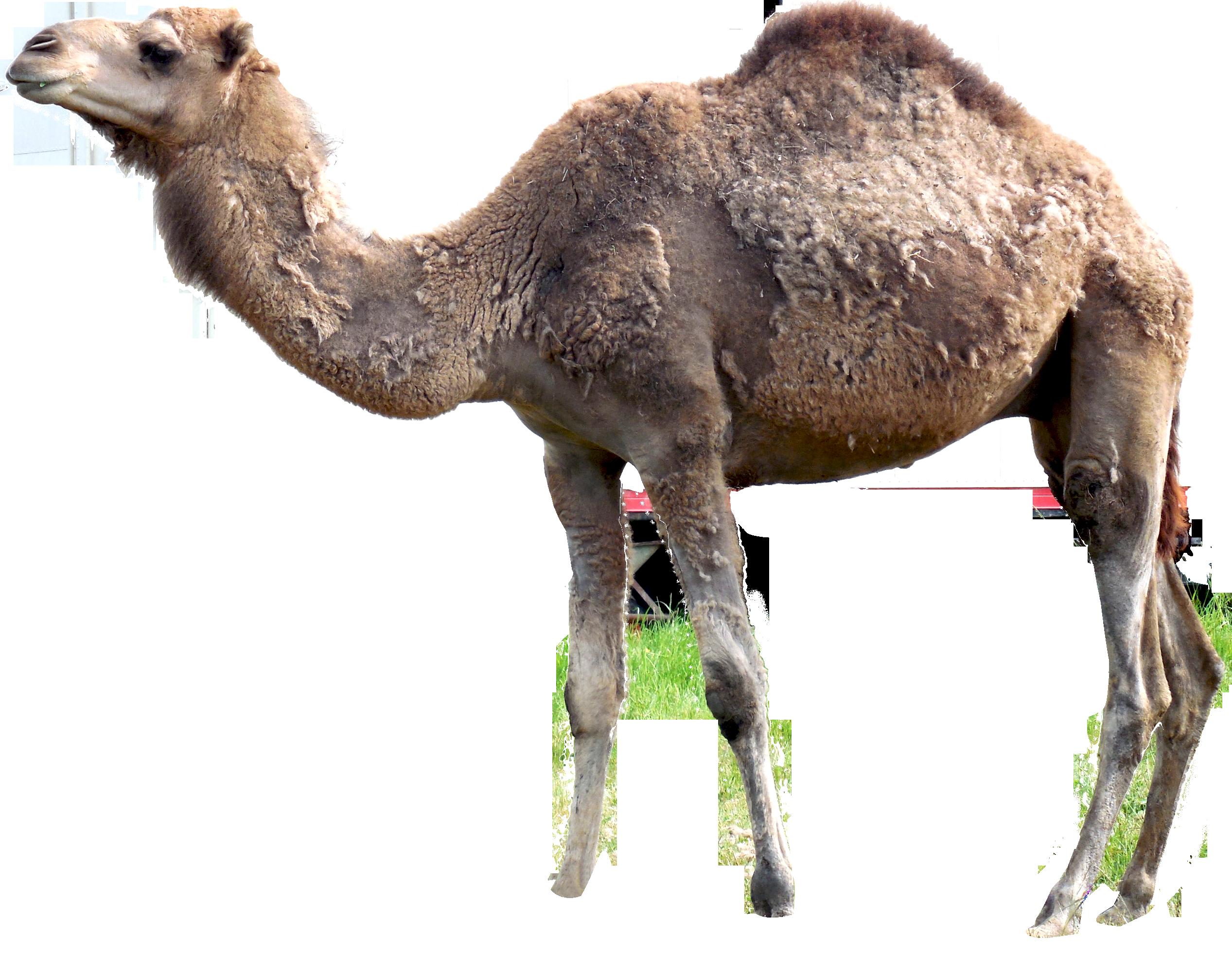 PlusPNG - Camel PNG