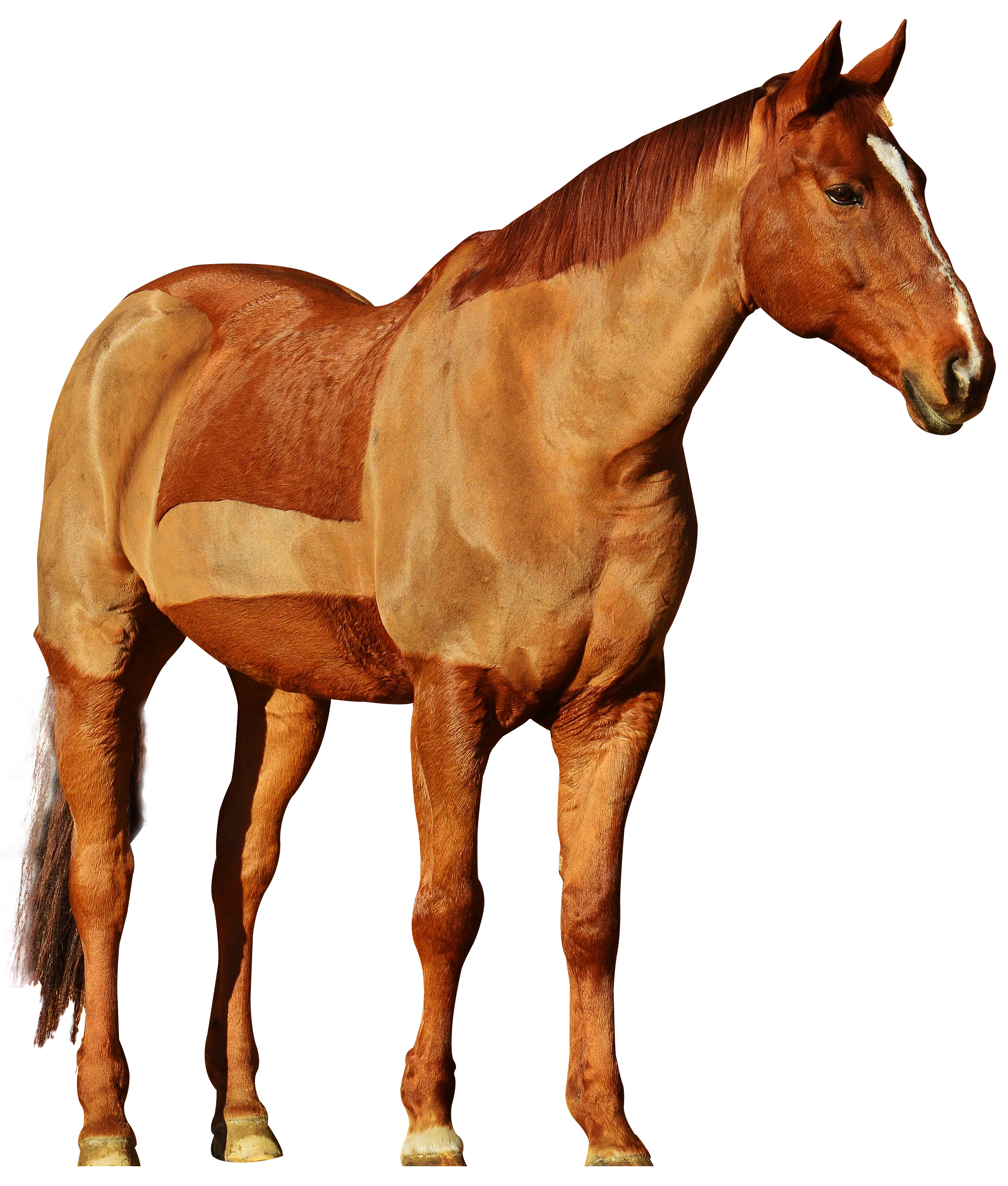 PlusPNG - Horse PNG