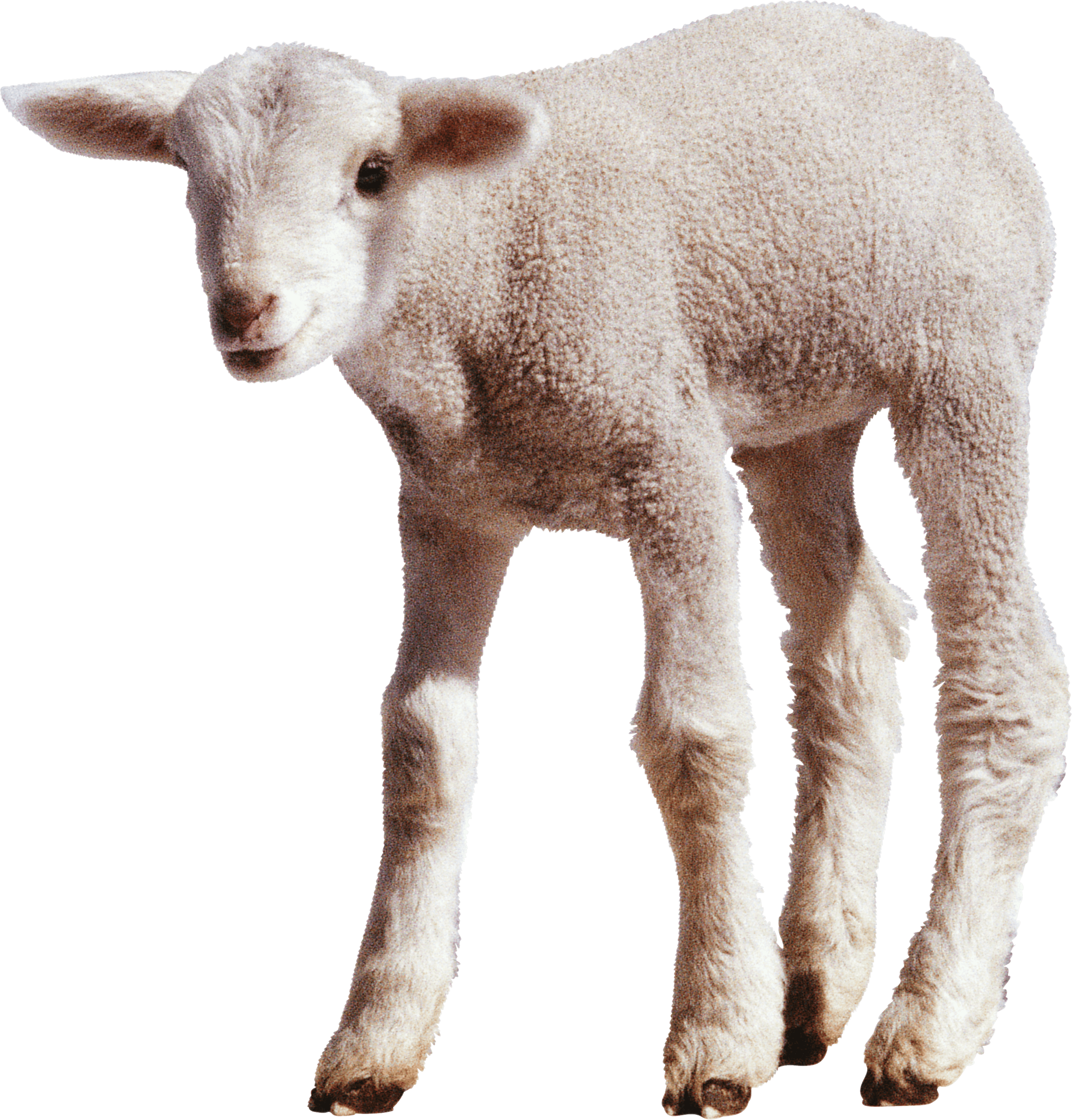 PlusPNG - Sheep PNG