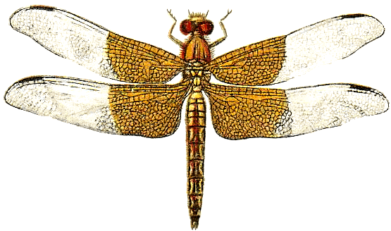 Dragonfly PNG - 1750
