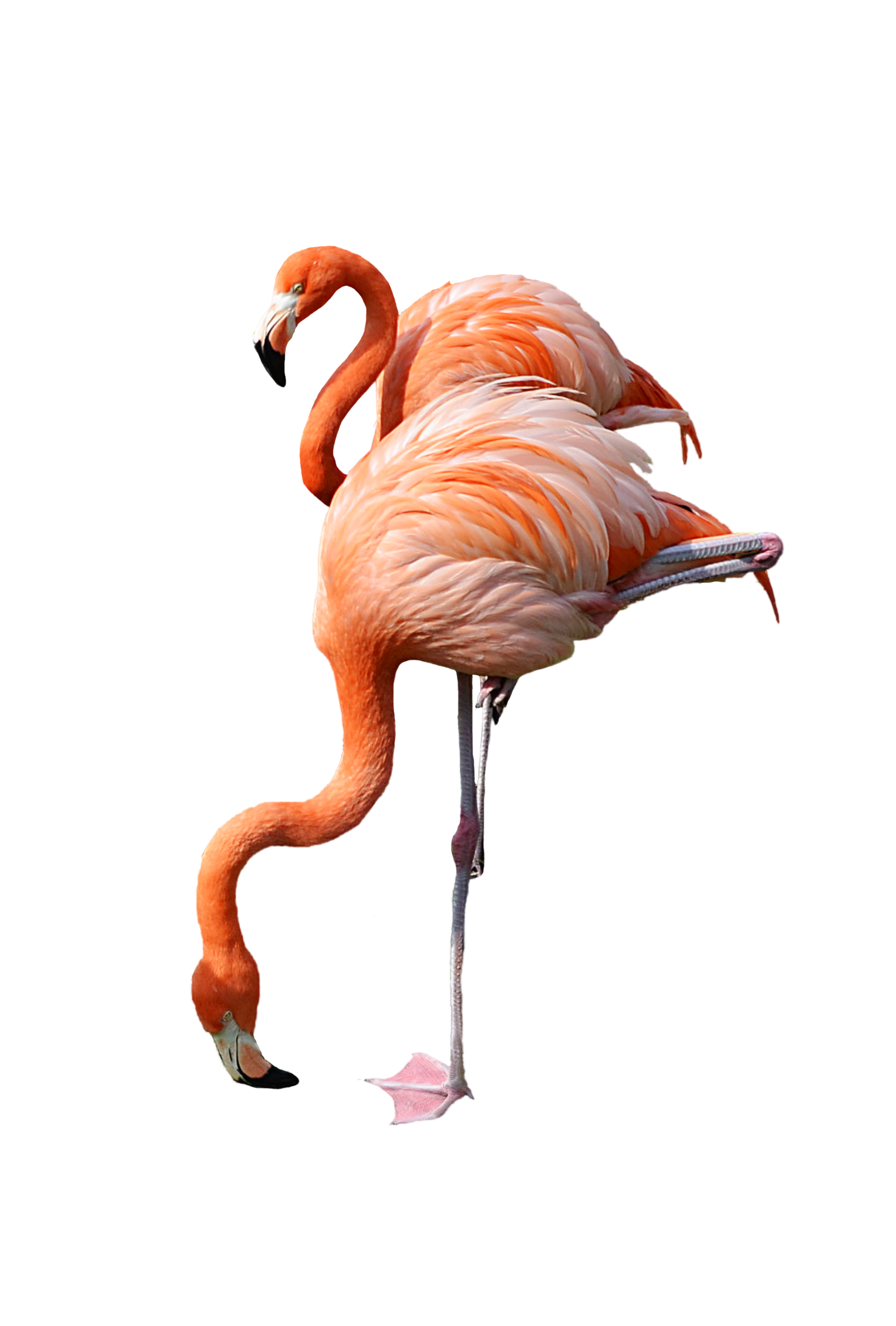2 Standing Pink Flamingo Stock Photo 0440 PNG by annamae22 - Flamingo PNG