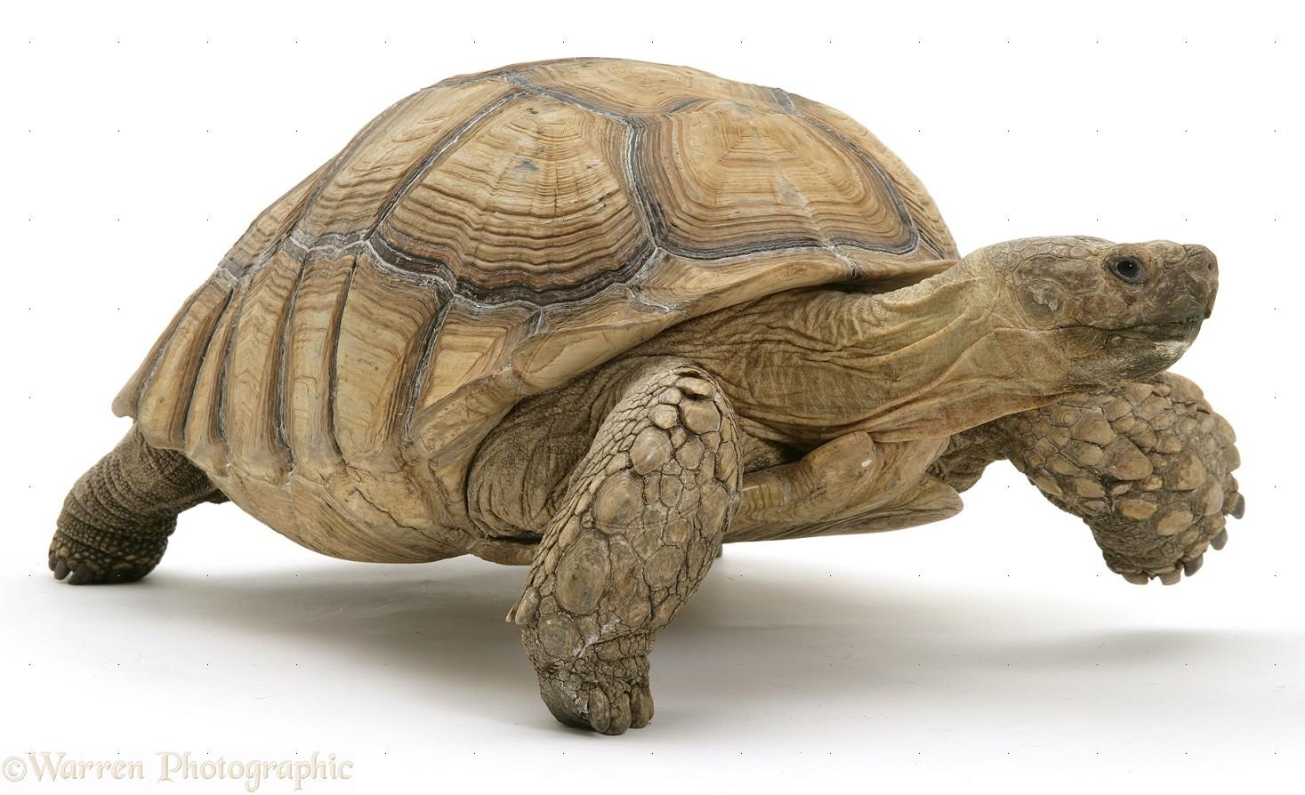 Tortoise PNG - 7208