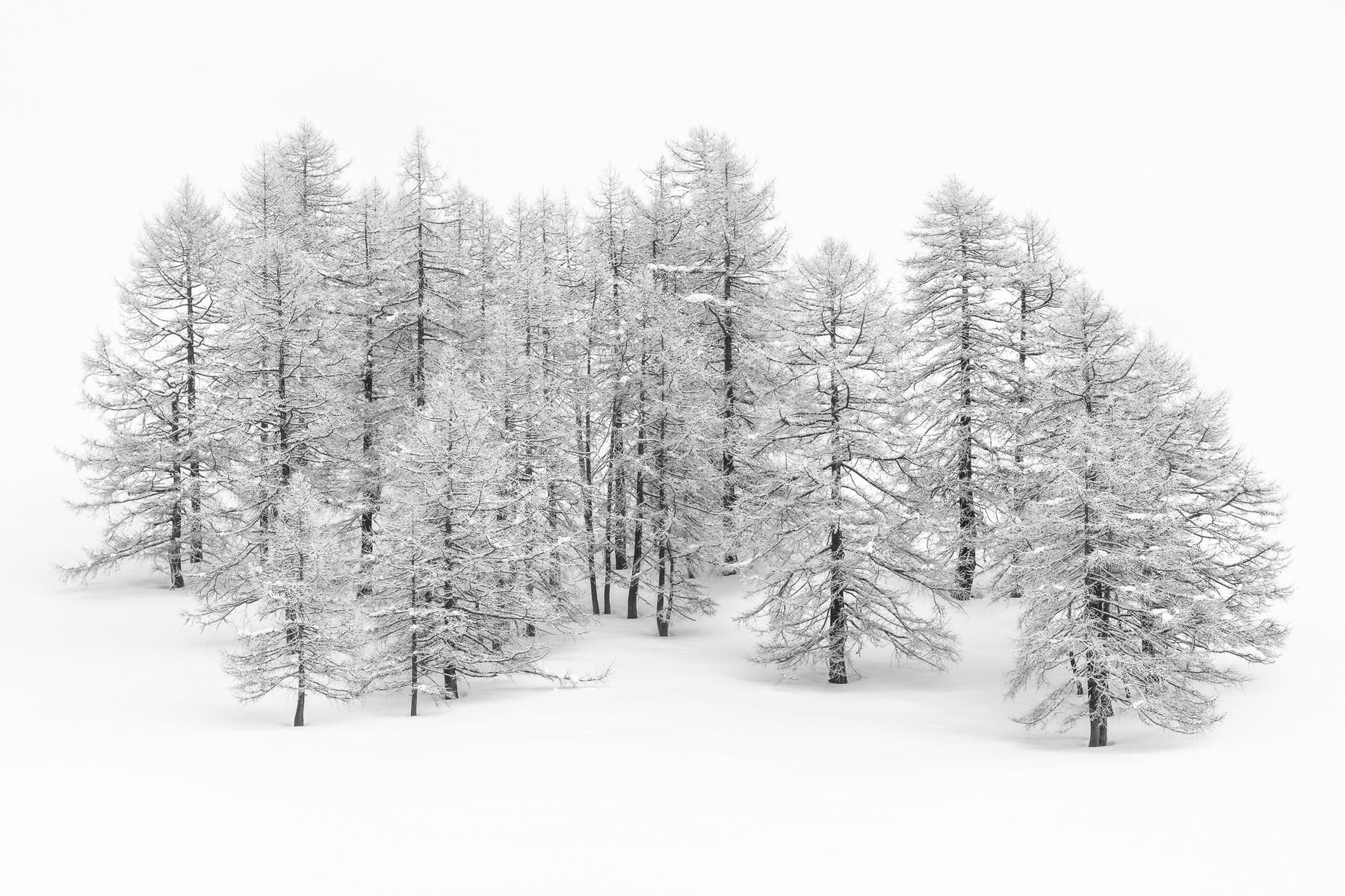 A gathering of larch trees covered with snow and hoar-frost, surrounded by  virgin - Winter Snow PNG