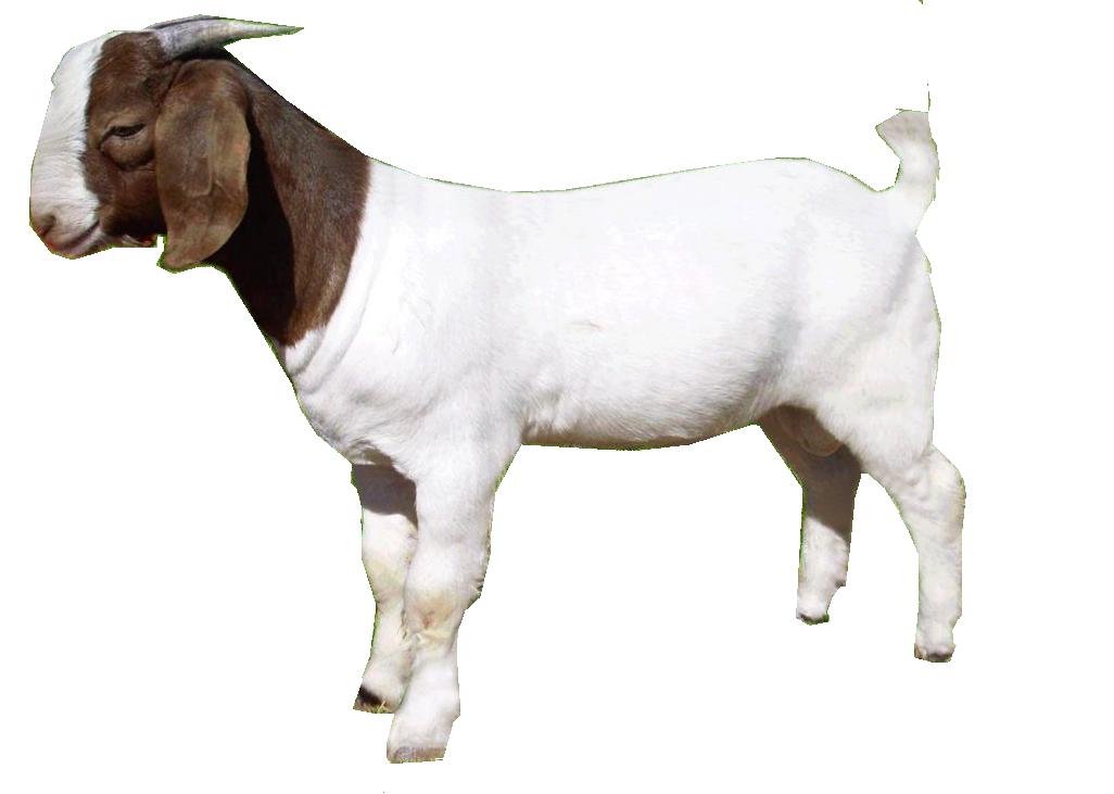 A Goat PNG