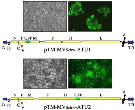 Measles virus vector. Schematic maps of two MVSchw (Schwarz strain - A T U Vector PNG