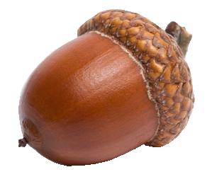 Acorn PNG - 5281