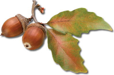 Acorn PNG image, free, acorns - Acorn PNG