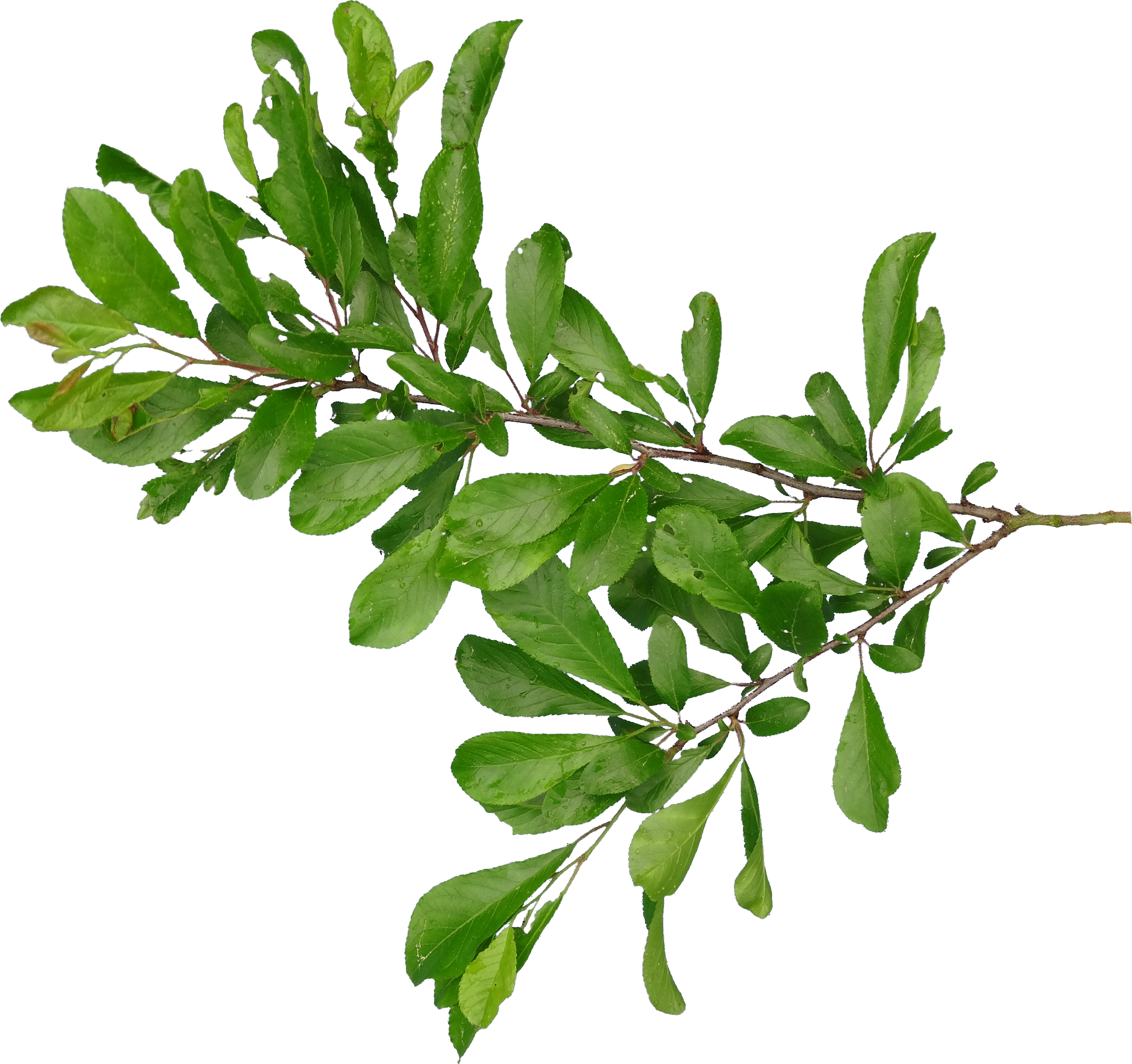 Branch PNG - 4477