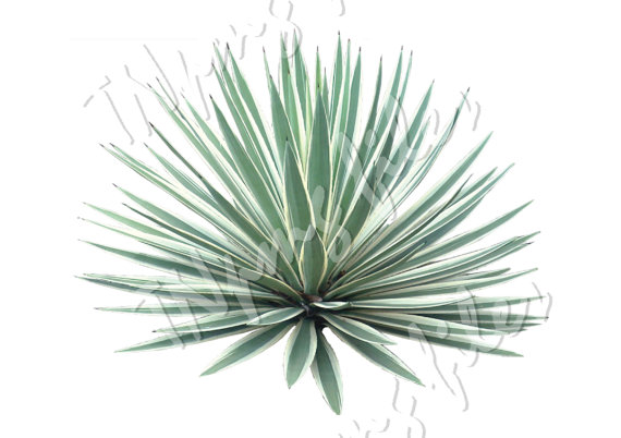 Agave PNG-PlusPNG.com-570 - Agave PNG