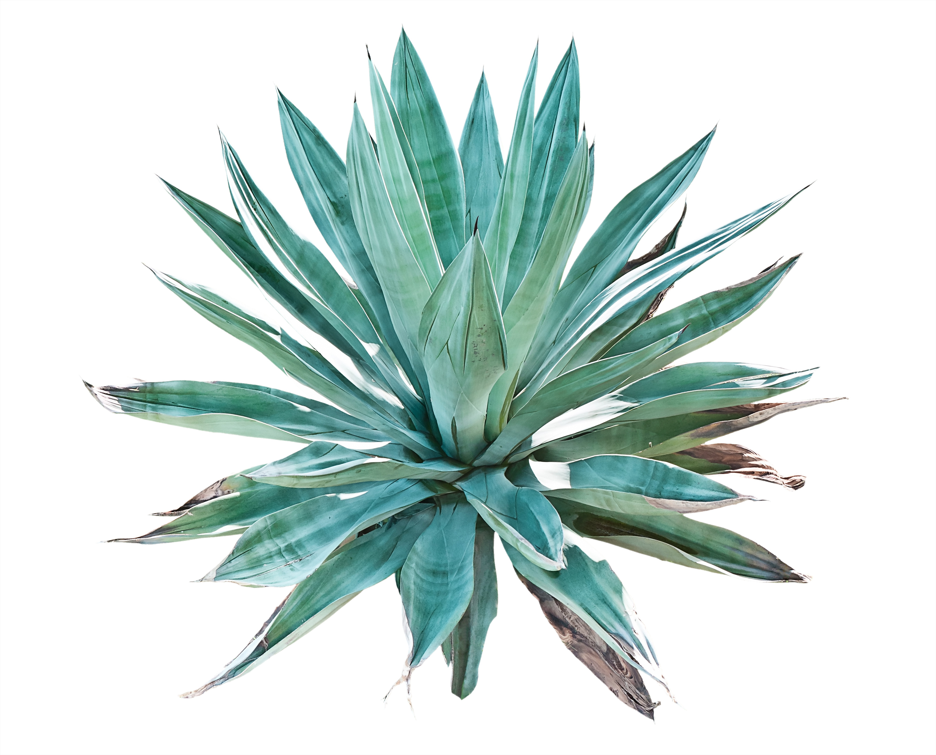 Agave PNG - 160737