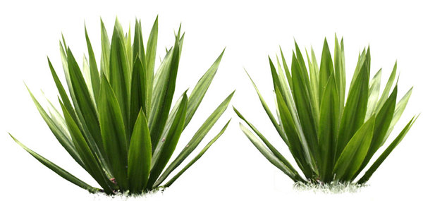 Agave - Agave PNG