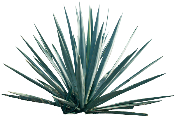 Agave PNG - 160727