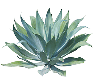 Agave nectar is 25% sweeter than refined sugar with only half the amount of  carbohydrate calories. It is a low glycemic sweetener and contains many  vitamins PlusPng.com  - Agave PNG