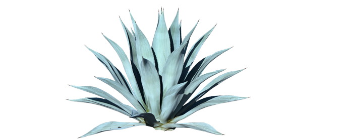 Agave tequilana - Agave PNG