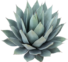 Blue agave PlusPng.com  - Agave PNG