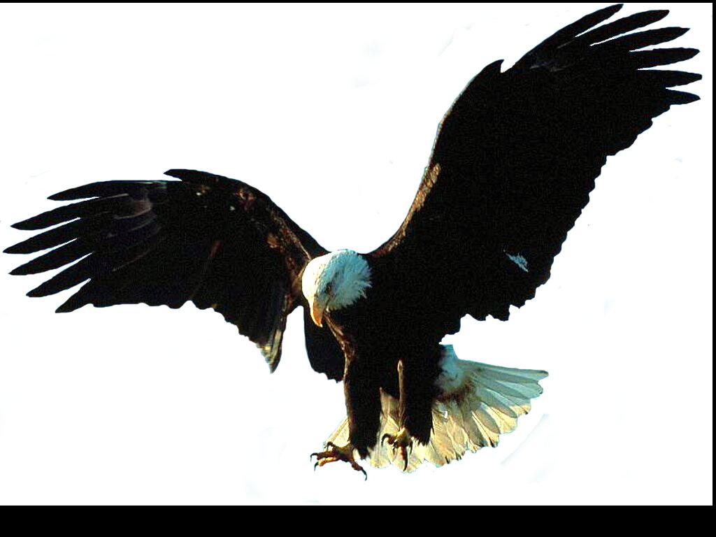 Attractif Aigle PNG Transparent Aigle.PNG Images. | PlusPNG CR66