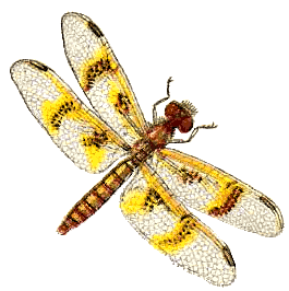 amber wing dragonfly female - /animals/bugs/D/dragonfly /amber_wing_dragonfly_female.png.html - Dragonfly PNG