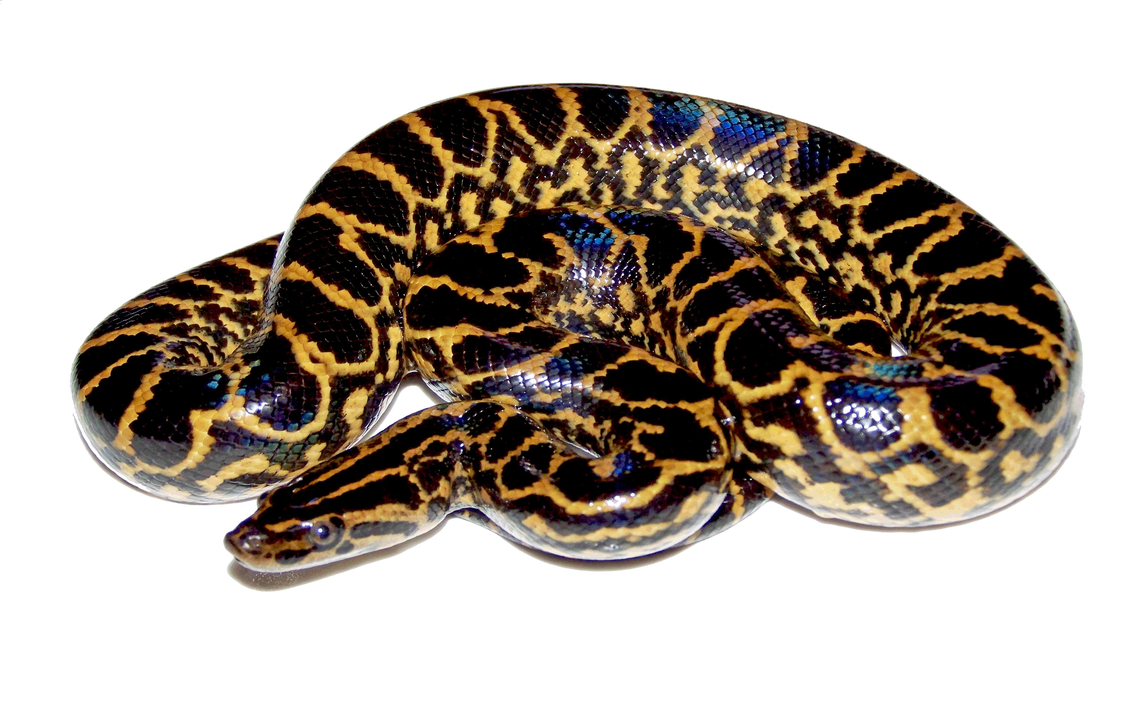 Anaconda PNG - 27321