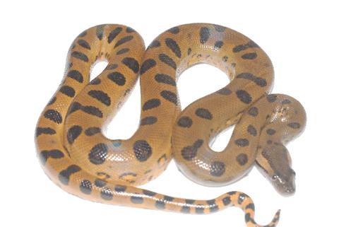 Anaconda PNG - 27327