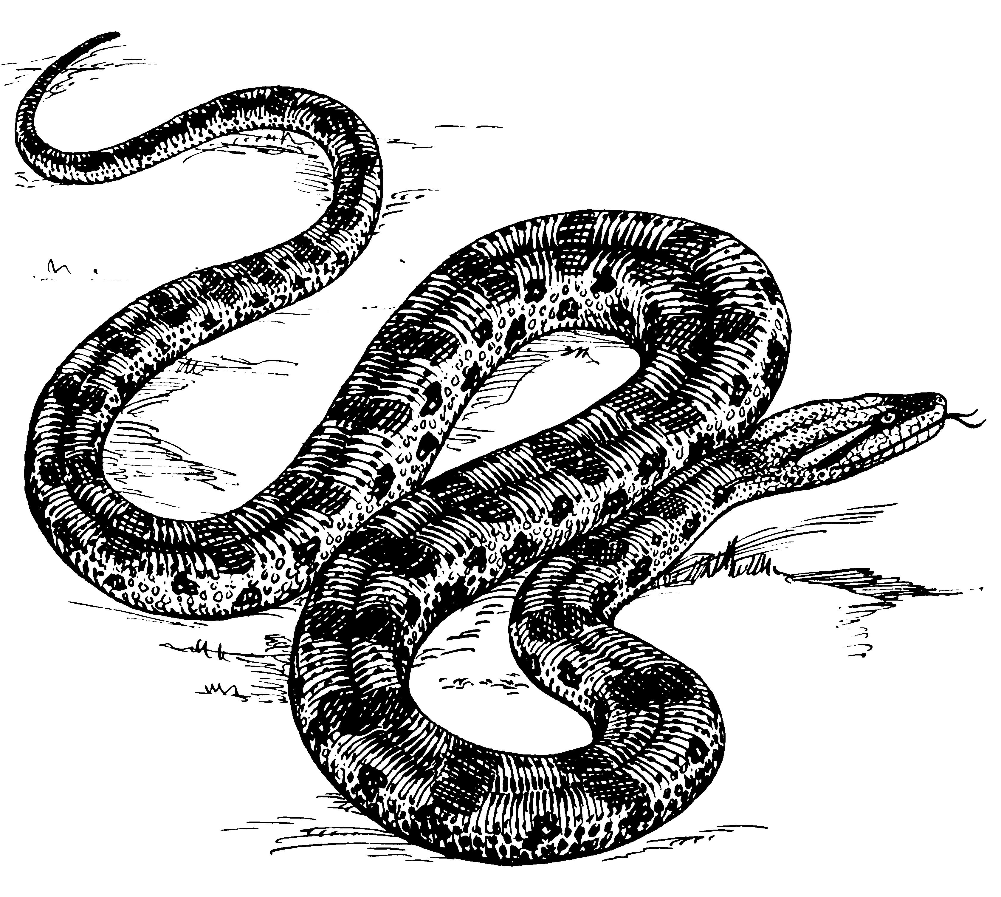 Anaconda PNG - 27331