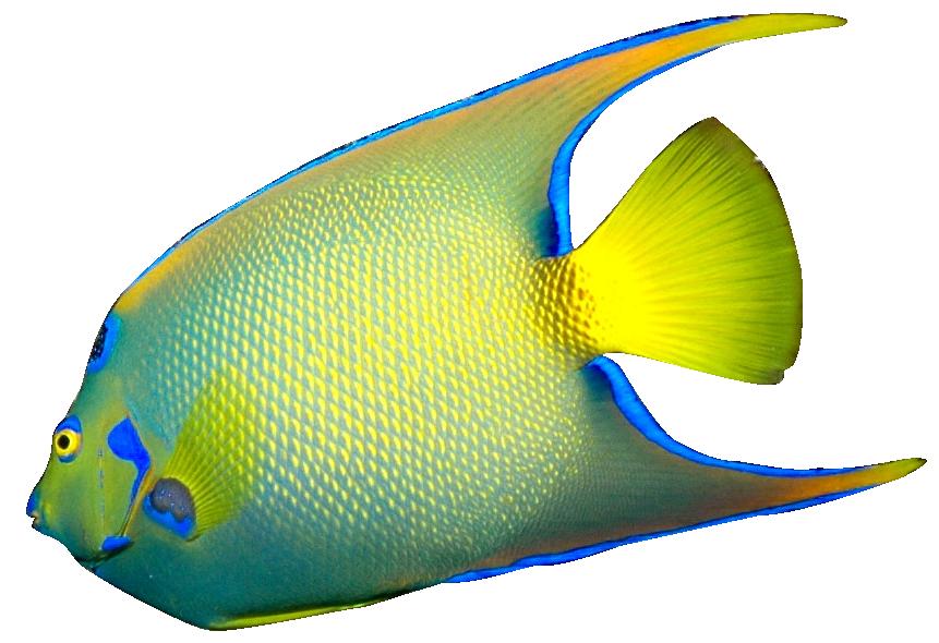 Angel Fish PNG HD Tran...