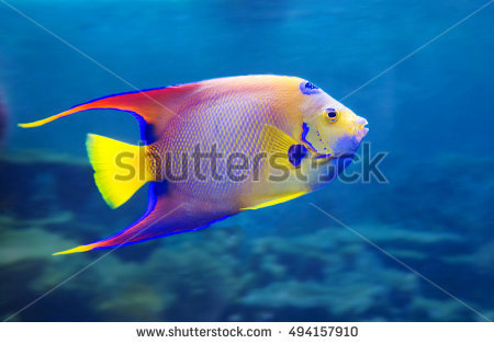 Angel Fish For a spot on the head, resembling a crown, an angel, - Angel Fish PNG HD