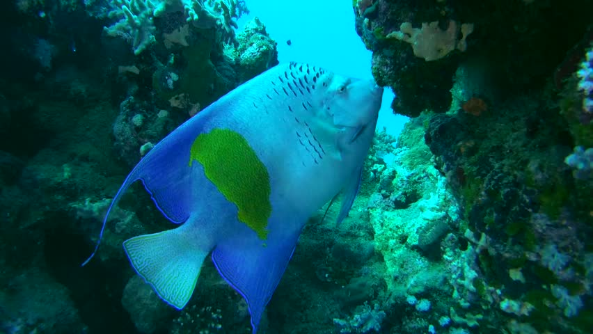 Arabian angelfish (Pomacanthus asfur) It feeds on the coral reef, Red sea, - Angel Fish PNG HD