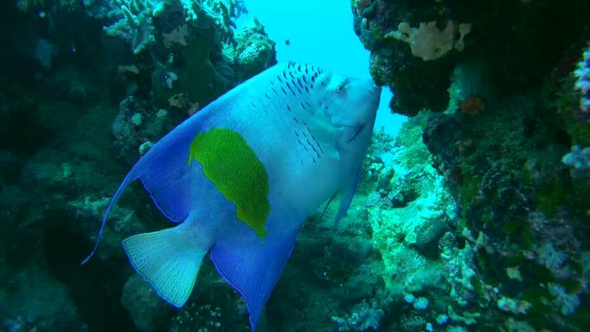 Angel Fish PNG HD - 131190