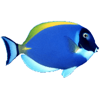 Blue Fish Png Image PNG Image - Angel Fish PNG HD