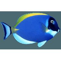 Blue Fish Png Image PNG Image - Angel Fish PNG HD
