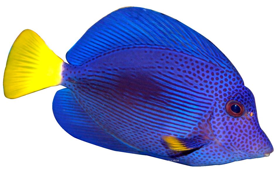 Angel Fish PNG HD - 131185