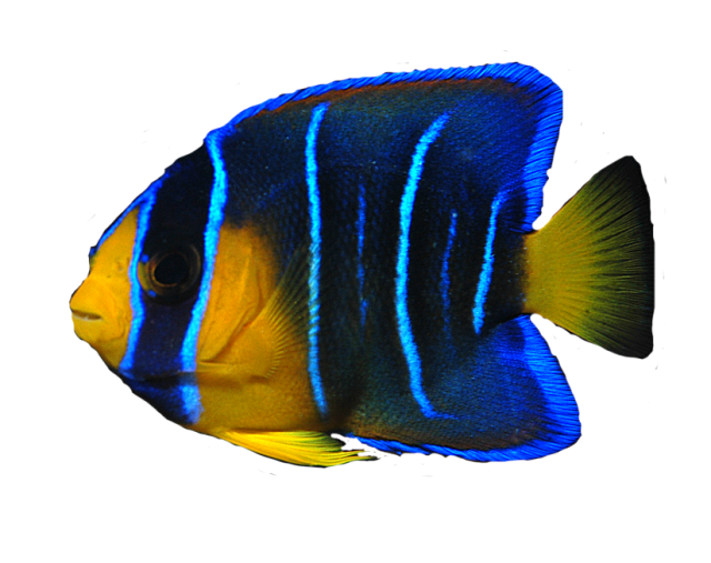 Ocean Fish PNG Transparent Image - Angel Fish PNG HD