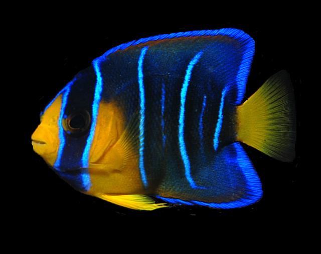 Ocean Fish PNG Transparent Image - Angel Fish PNG HD
