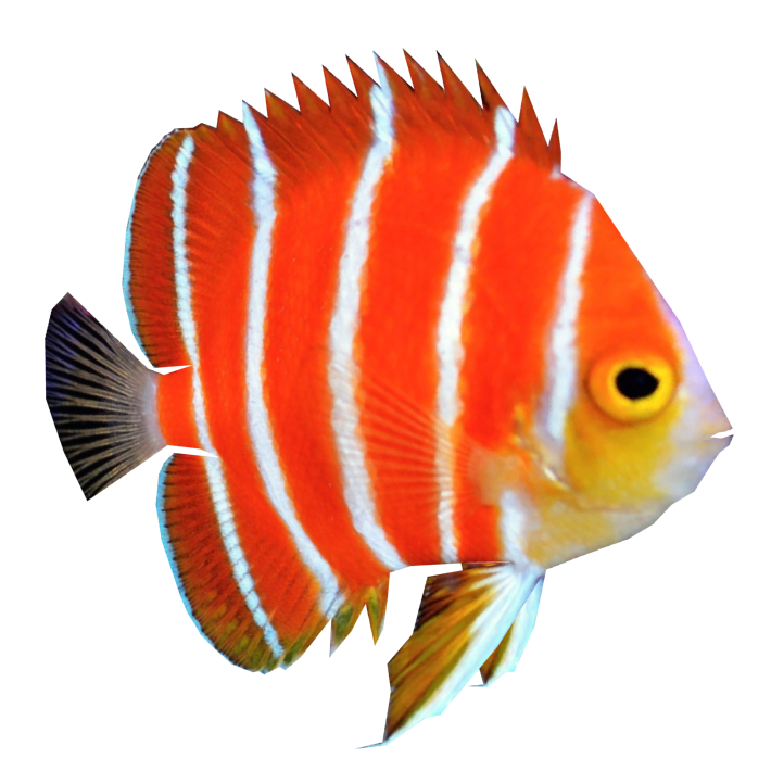 Peppermint Angelfish (Whalebite).png - Angel Fish PNG HD