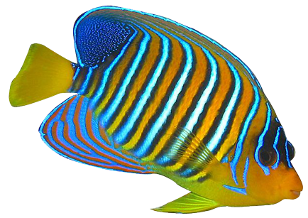 Tang Fish Clipart - Angel Fish PNG HD