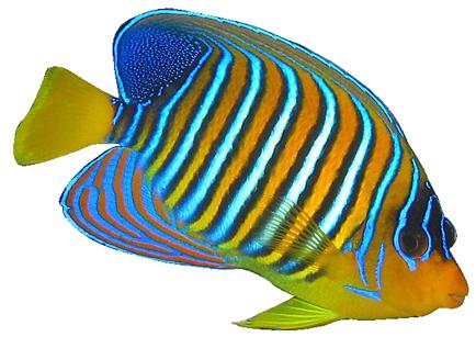 Tang Fish Clipart - Angel Fish PNG HD