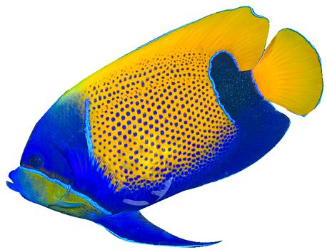 tropical fish clipart - Angel Fish PNG HD