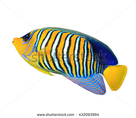 Tropical Fish: Regal Angelfish Isolated On White Background - Angel Fish PNG HD