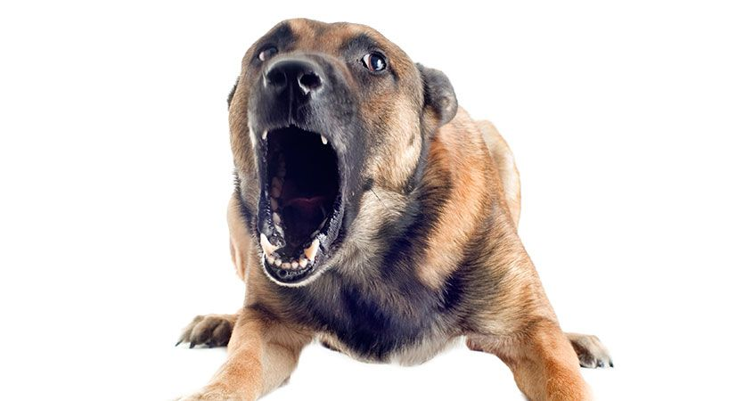 Dog White Background Pics - Angry Dog PNG HD