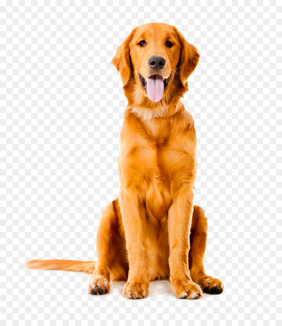 Labrador Retriever Golden Retriever German Shepherd Pet sitting Puppy - Dog - Angry Dog PNG HD