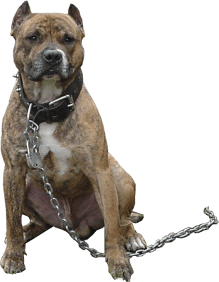 Pitbull Chain - Angry Dog PNG HD