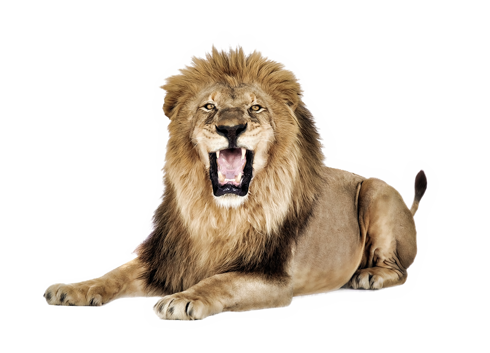 Lioness Roar PNG Pic - Angry Lion PNG HD