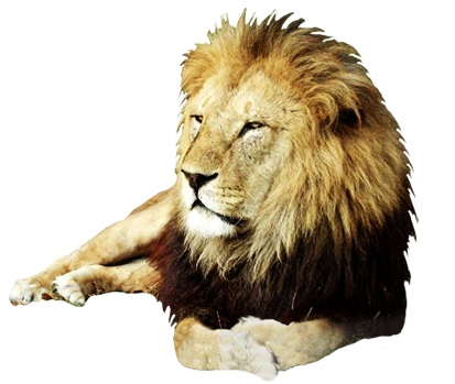 . PlusPng.com resting male lion photo-cuts - Angry Lion PNG HD