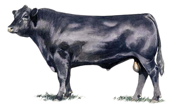Generations of hard-working U.S. Angus breeders have spent years perfecting  their product, adopting the latest technologies, studying performance data,  PlusPng.com  - Angus Bull PNG