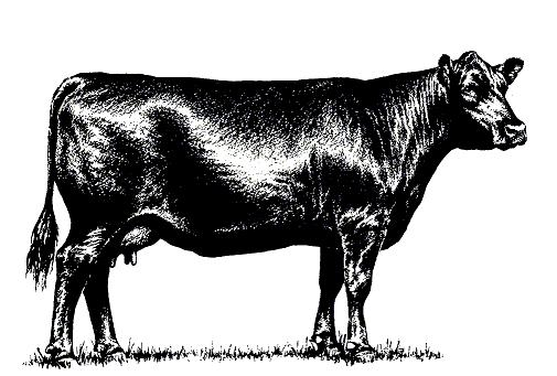 Angus cow - Angus Cattle PNG