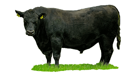 Peters Angus Bulls - Angus Cattle PNG