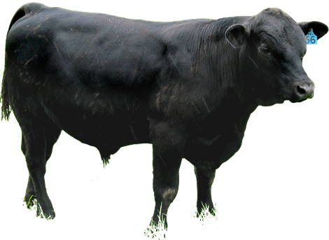 Slide - Angus Cattle PNG